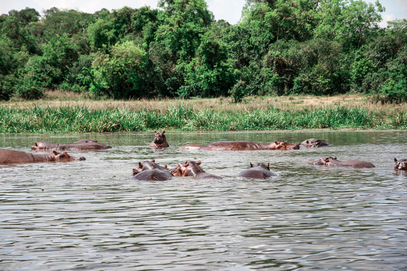 Hippos at the Murchison Falls National Park
