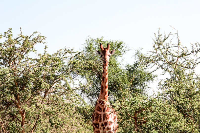 Giraffe Murchison Falls National Park