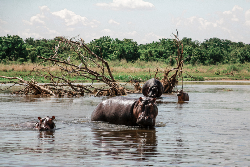 Hippo Herd at the Murchison Falls National Park