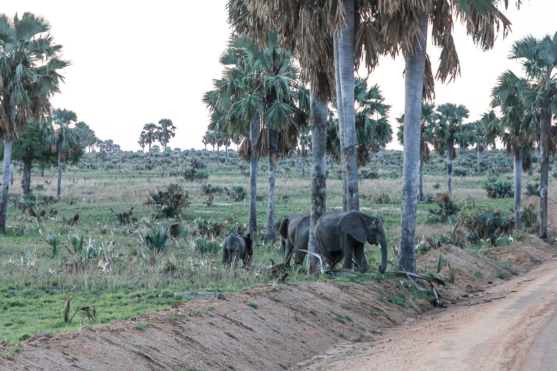 Elephants Murchison Falls National Park