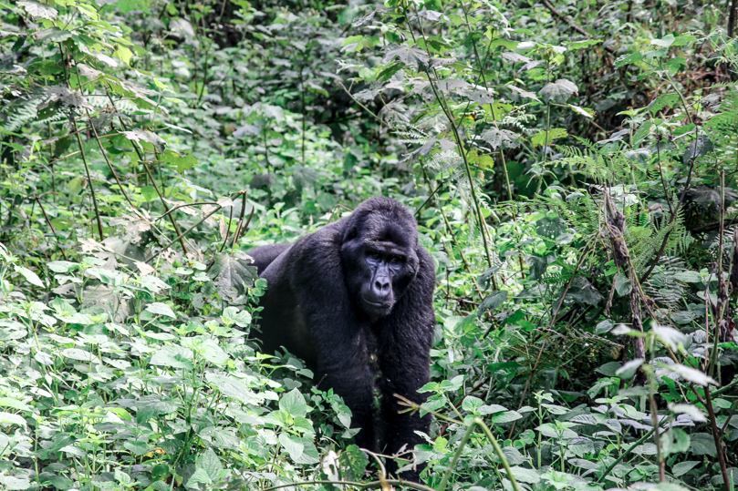 Mountain Gorilla Biwindi Impenetrable National Park