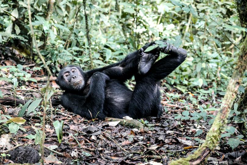 Chimpanzee Kibale National Park