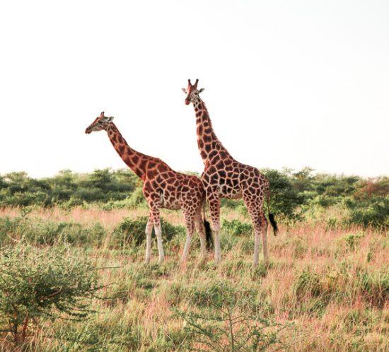 Giraffes at the Murchison Falls National Park