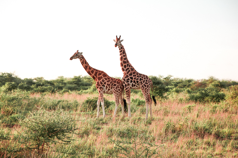 Giraffes at the Murchison Falls National Park