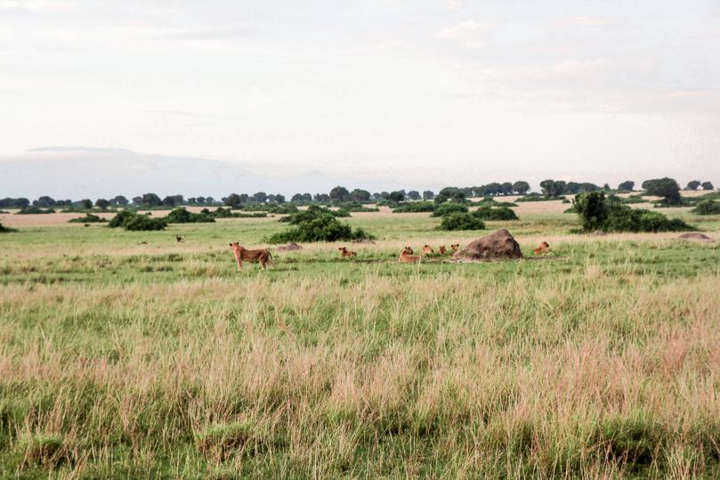 Lions Queen Elisabeth National Park