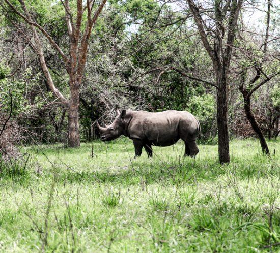 Rhino at the Ziwa Rhino Sanctuary