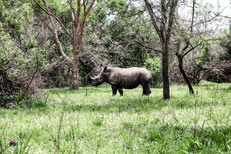 Rhino at the Ziwa Rhino Sanctuary
