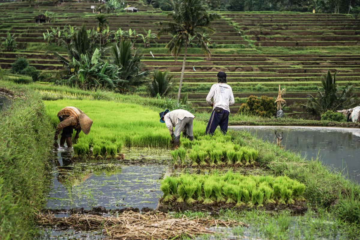 Jatiluwih Farmers