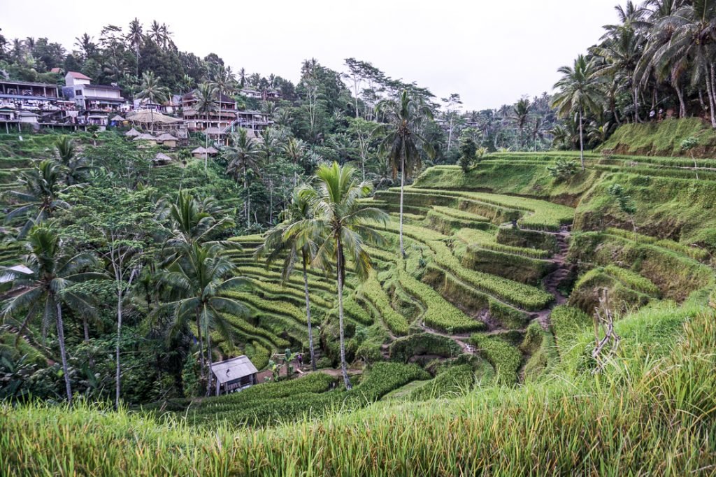 Tegallalang Rice Terraces View