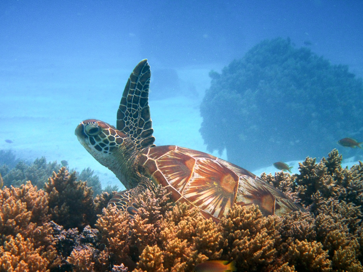 Waving Turtle Balicasag