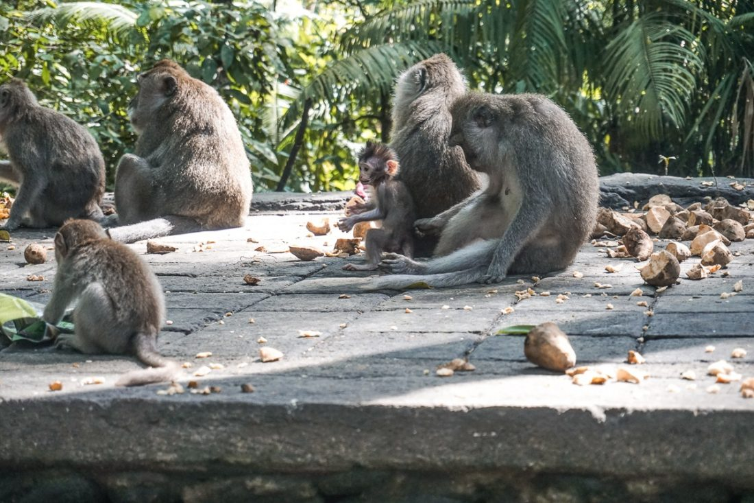 Monkeys Eating Sweet Potatoe