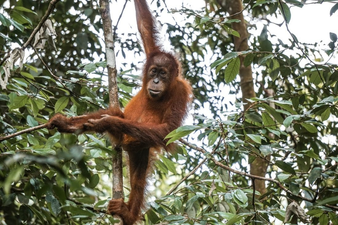 Baby Oragnutan Climbing Tree Jungle Trekking Sumatra
