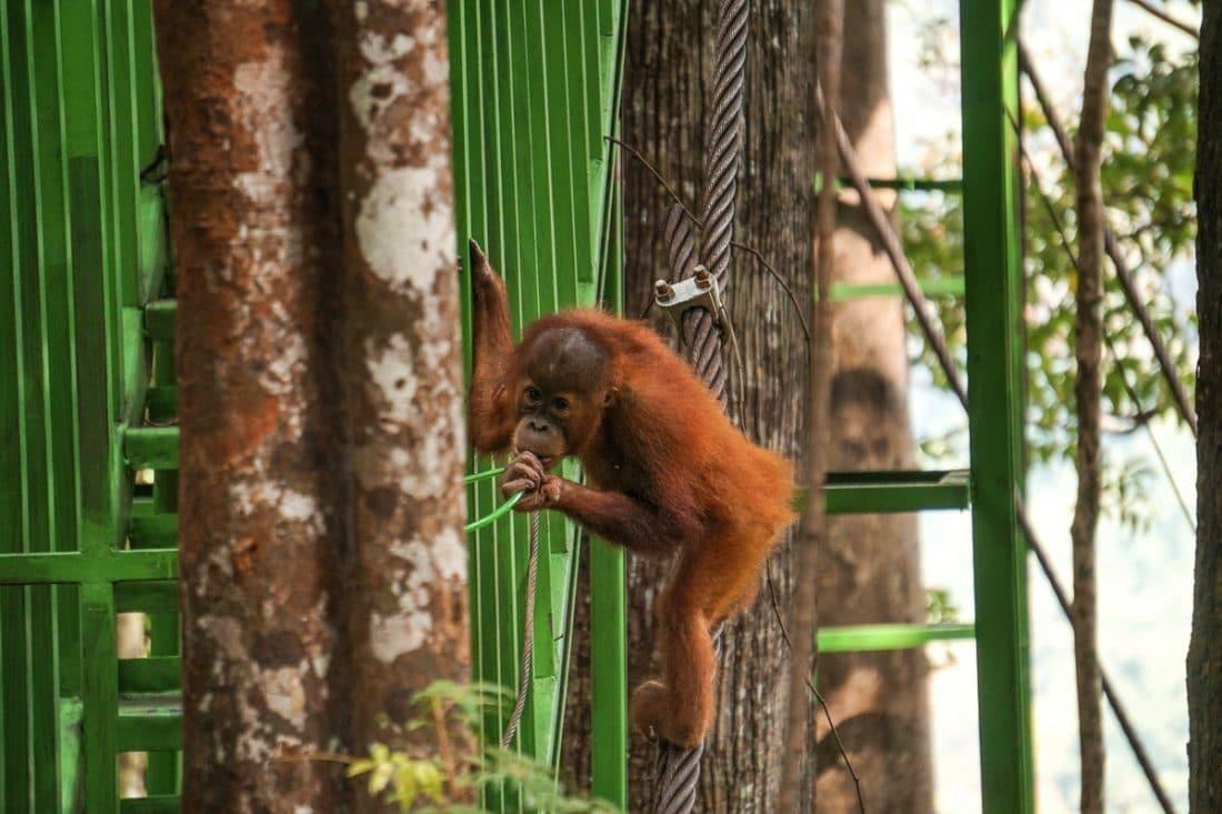 Baby Orangutan Jungle Trekking Sumatra