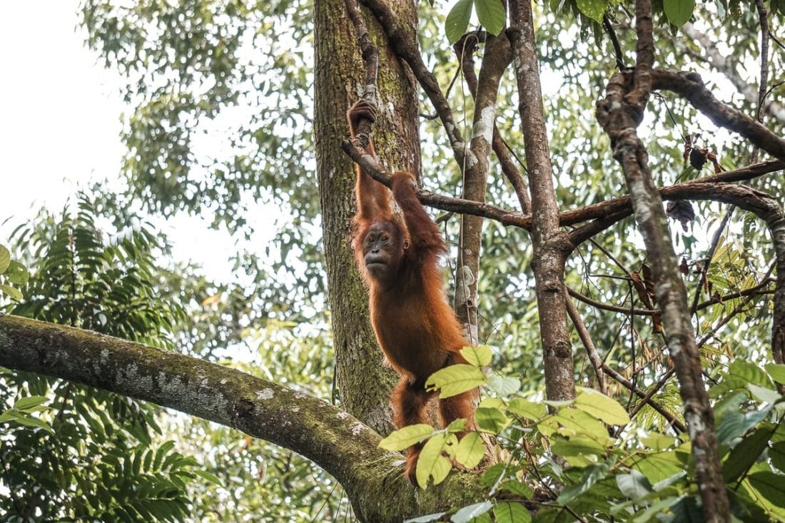 Baby Orangutan Swinging Tree Jungle Trekking Sumatra
