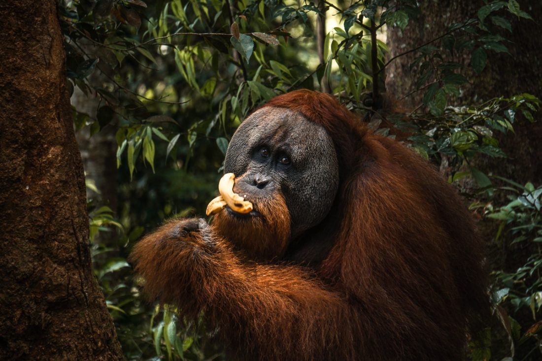 Male Orangutan Eating Jungle Trekking Sumatra