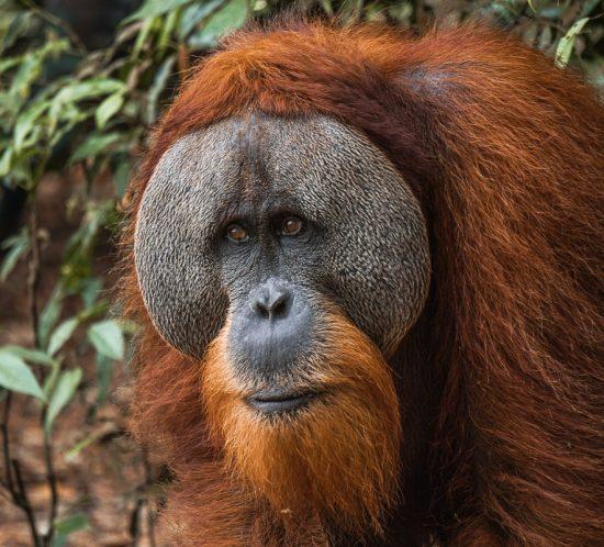 Male Orangutan Face Jungle Trekking Sumatra
