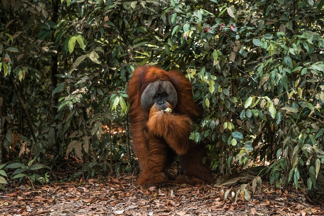 Male Orangutan Jungle Trekking Sumatra