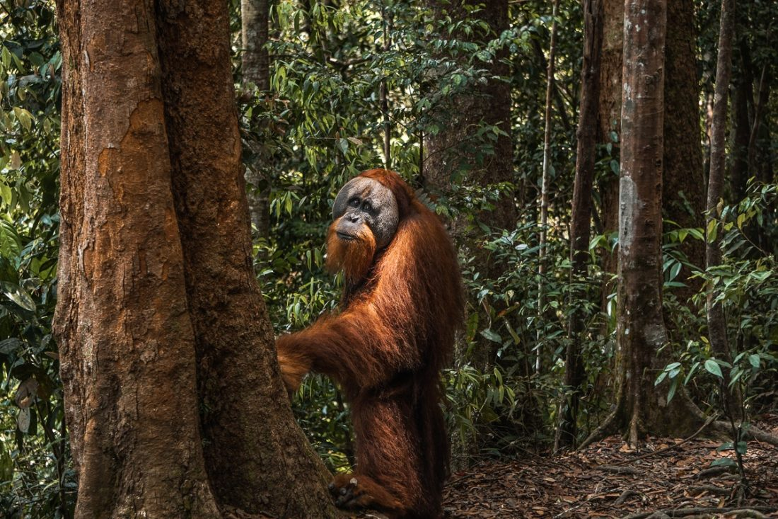 Male Orangutan Standing Jungle Trekking Sumatra