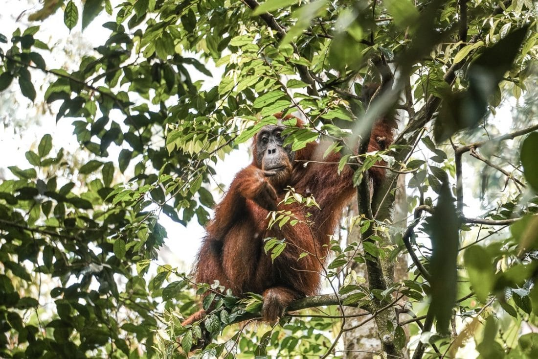Female Orangutan in Tree Jungle Trekking Sumatra