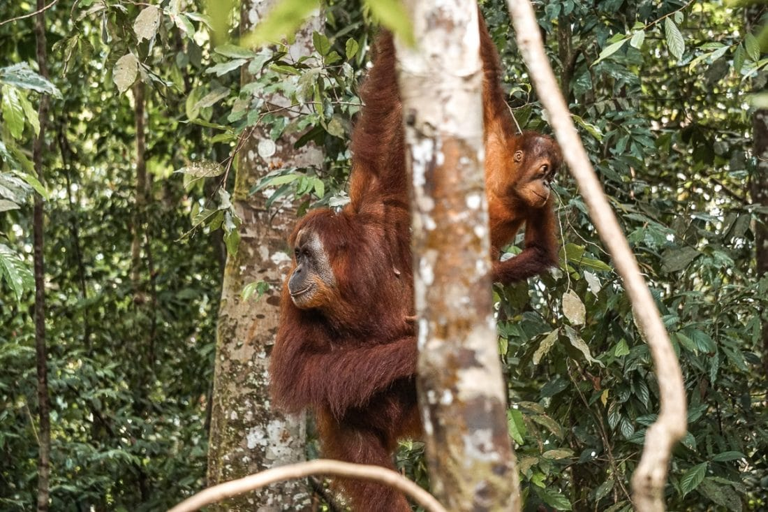Mother and Baby Orangutan Jungle Trekking Sumatra
