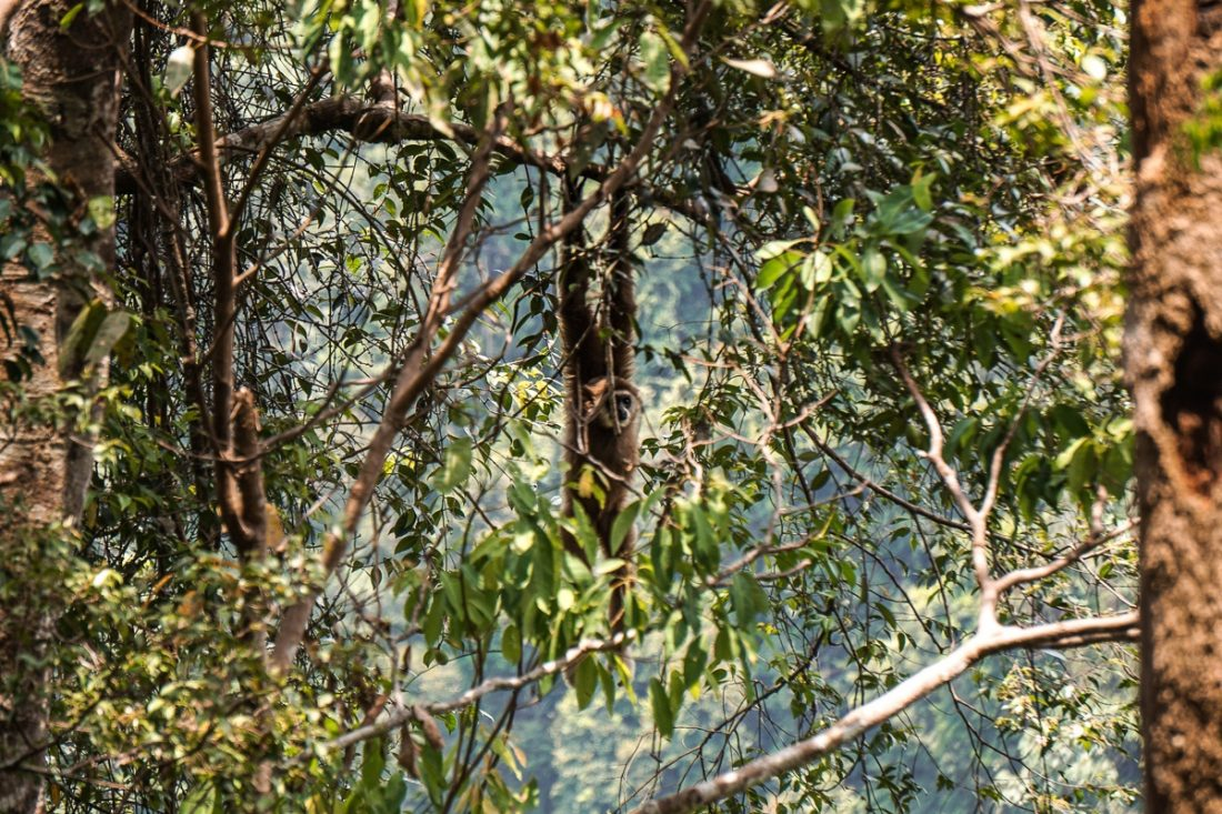 Siamang Gibbon Jungle Trekking Sumatra