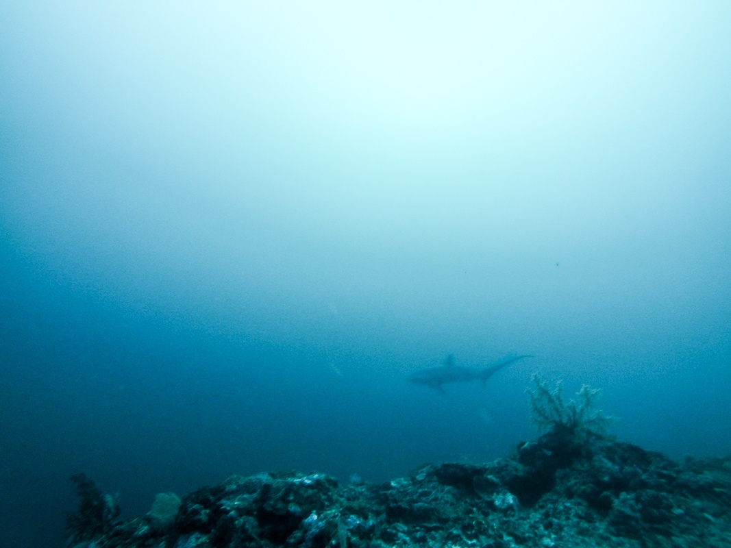 Thresher Shark Malapascua Island