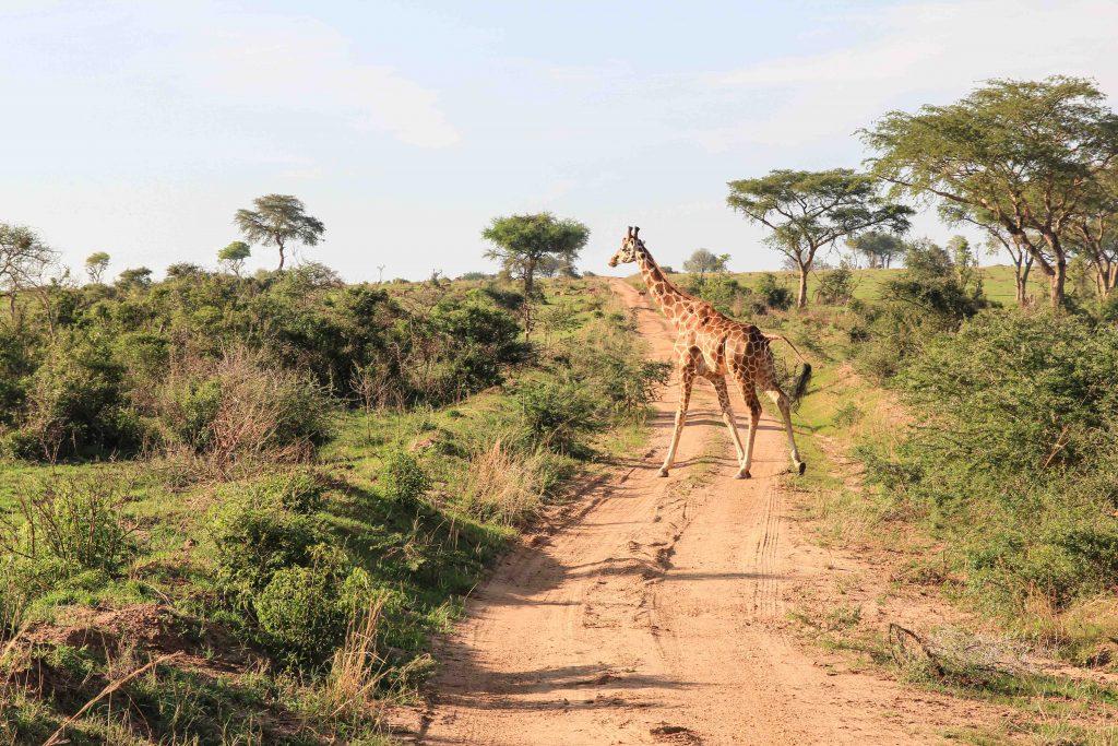 giraffe-crossing-road-big-five-safari-uganda