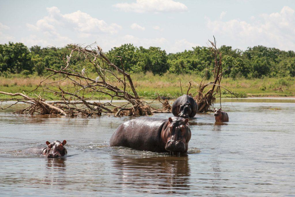 hippos-big-five-safari-uganda
