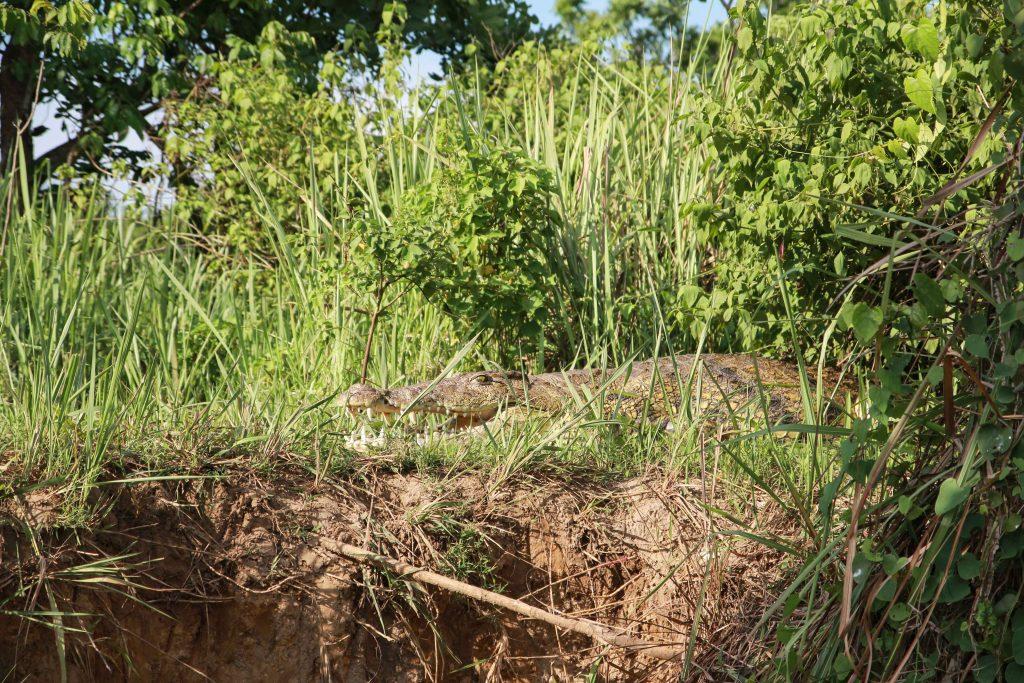 crocodile-big-five-safari-uganda