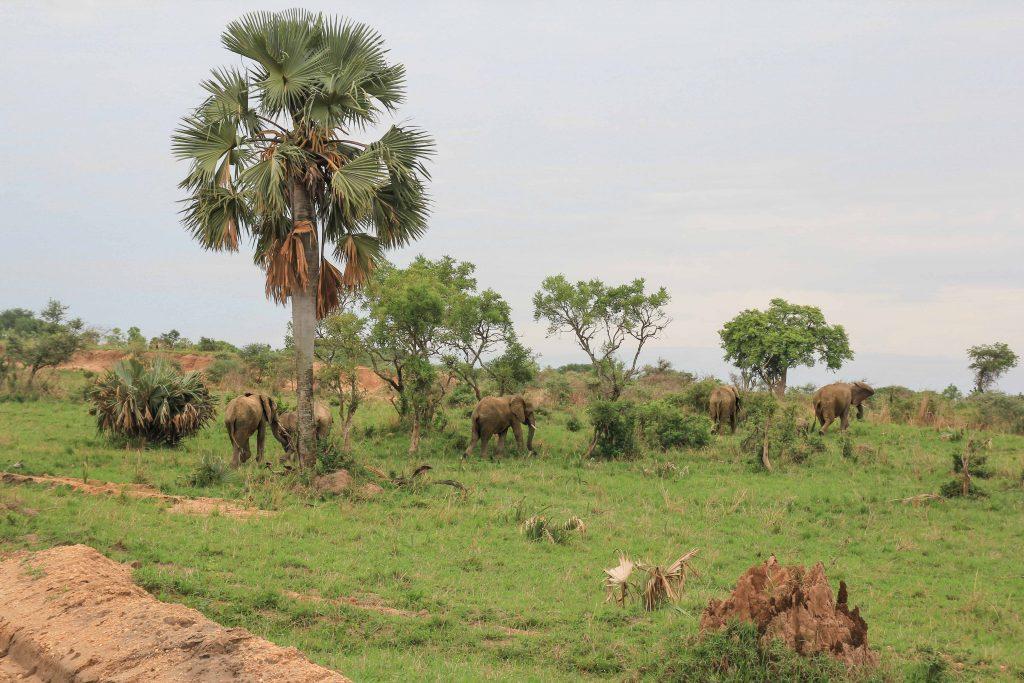 elepahnts-crossing-road-big-five-safari-uganda