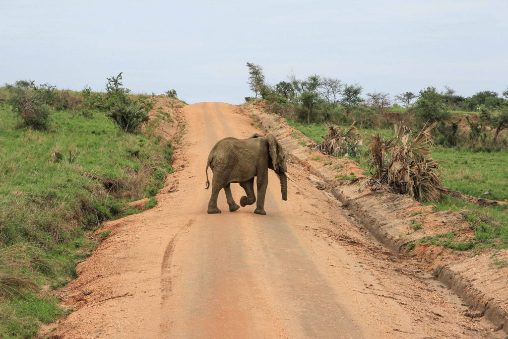 sinlge-elephant-crossing-road-big-five-safari-uganda
