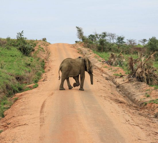 elephant-crossing-road-big-five-safari-uganda