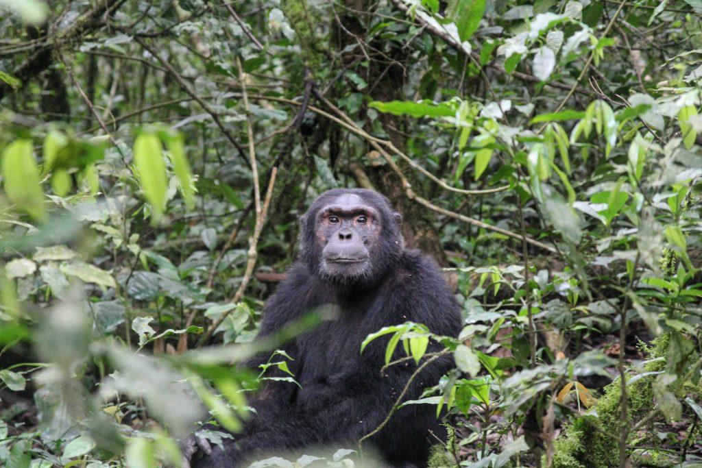 chimpanzee-watching-us-big-five-safari-uganda