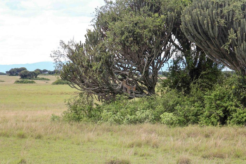 leopard-in-tree-big-five-safari-uganda