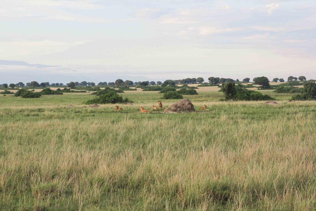 pack-of-lions-big-five-safari-uganda