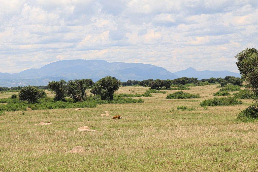 single-lion-big-five-safari-uganda