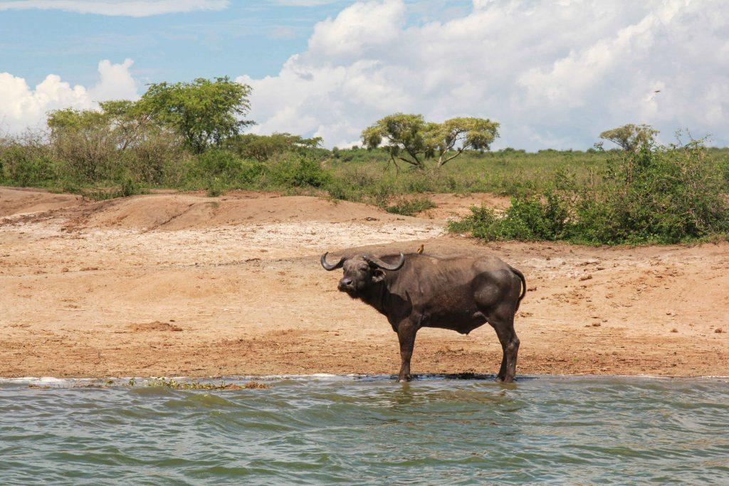 buffalo-big-five-safari-uganda
