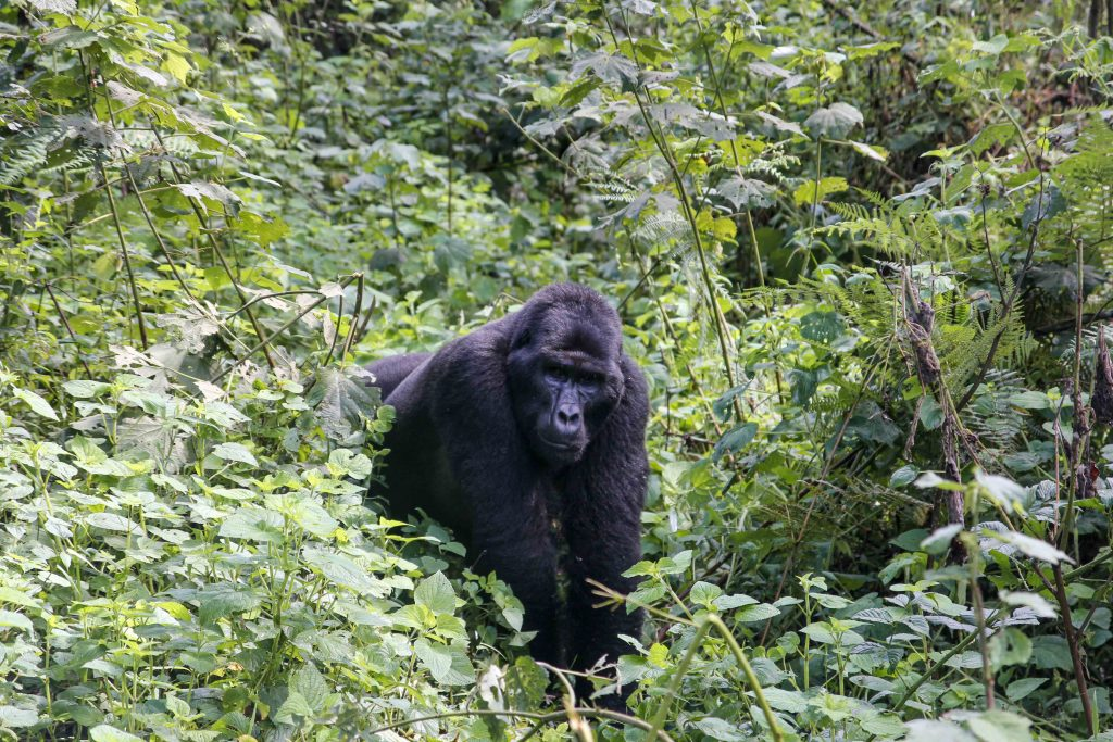 silverback-gorilla-big-five-safari-uganda