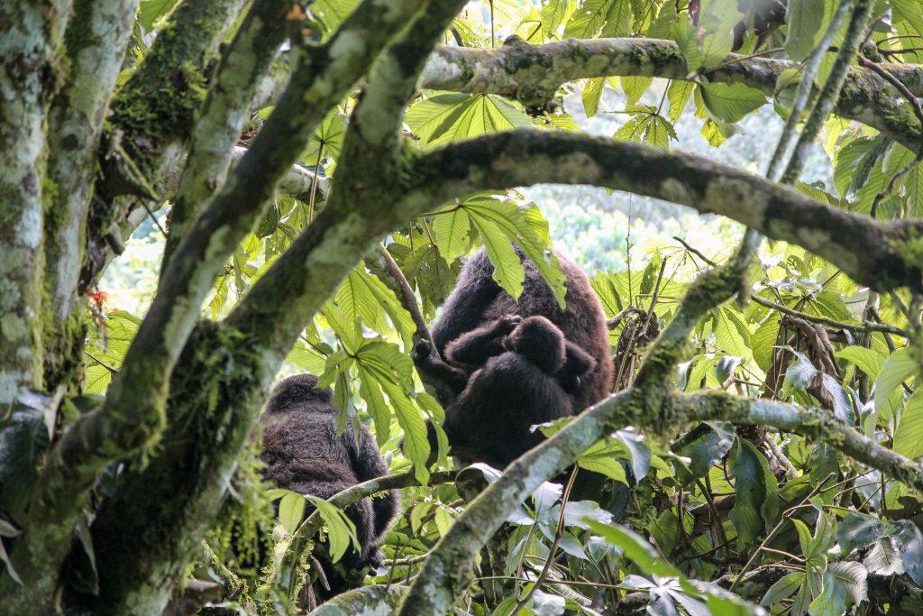 gorilla-family-big-five-safari-uganda
