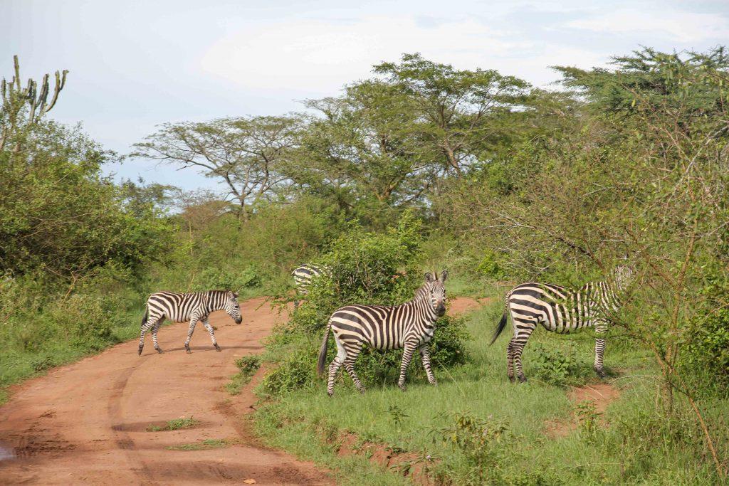 zebras-big-five-safari-uganda
