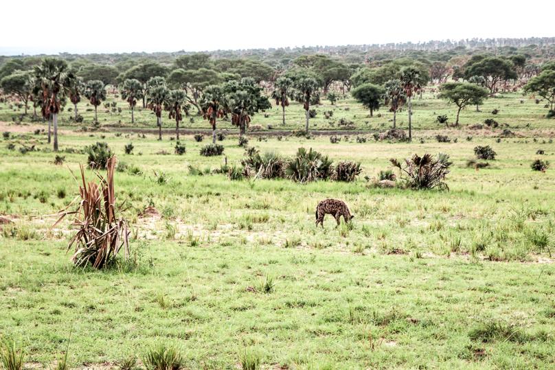 hyena-big-five-safari-uganda