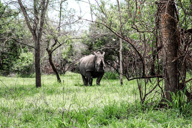 rhino-big-five-safari-uganda
